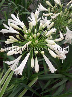 - AGAPANTHUS AFRICANUS'ALBUS' (Beyaz çiçekli Afrika zambağı ) BİTKİSİ