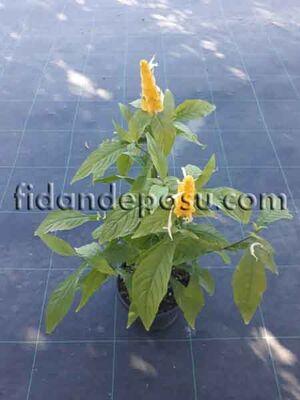 - BELOPERONE GUTTATA 'YELLOW'(Sarı karides çiçeği) BİTKİSİ