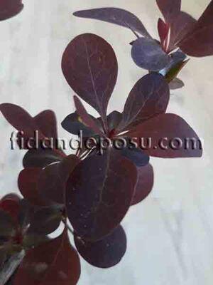 - BERBERIS THUNBERGİİ ATROPURPUREA (Kırmızı yapraklı berberis) BİTKİSİ