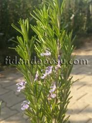 BİBERİYE (KUŞDİLİ) (Rosmarinus Officinalis) FİDANI - Thumbnail