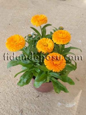 - CALENDULA OFFICINALIS (Şamdan çiçeği)BİTKİSİ