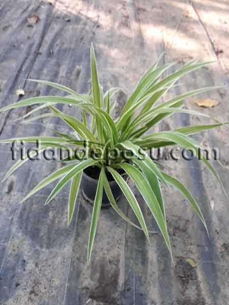 CHLOROPHYTUM COMOSUM VARIEGATUM(Kurdela çiçeği) BİTKİSİ