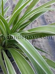 CHLOROPHYTUM COMOSUM VARIEGATUM(Kurdela çiçeği) BİTKİSİ - Thumbnail