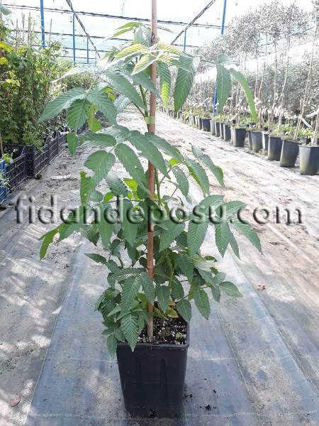 ÇİLEK AHUDUDU (Rubus Rosifolius) FİDANI