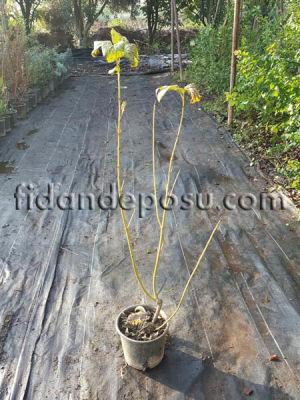 - CORNUS STOLONIFERA FLAVIRAMEA (Sarı gövdeli süs kızılcığı)
