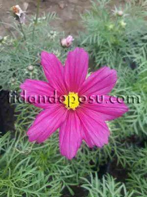 - COSMOS BİPİNNATUS (Kozmos çiçeği)