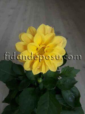 - DAHLIA HORTENSIS (Yıldız çiçeği)