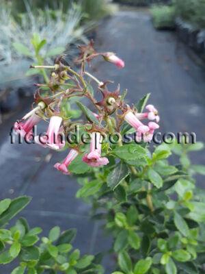 - ESCALLONIA CARDINALIS(Kırmızı çiçekli eskolonya) BİTKİSİ