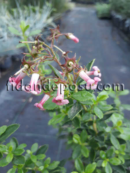 ESCALLONIA CARDINALIS(Pembe çiçekli eskolonya) BİTKİSİ