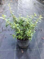 ESCALLONIA CARDINALIS(Pembe çiçekli eskolonya) BİTKİSİ - Thumbnail