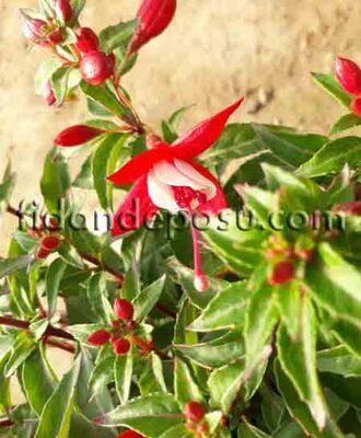 - FUCHSIA CULTIVARS (Küpe çiçeği) BİTKİSİ