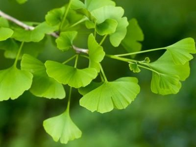 - GINKGO BILOBA (Mabet ağacı) FİDANI