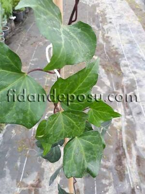 - HEDERA CANARIENSIS (İri yapraklı yeşil kaya sarmaşığı) BİTKİSİ