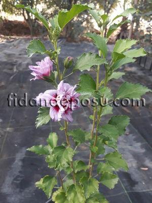 - HIBISCUS SYRIACUS LAVENDER CHIFFON(Mor çiçekli Hatmi) BİTKİSİ