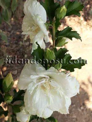 - HIBISCUS SYRIACUS WHITE CHIFFON(Beyaz çiçekli Hatmi) BİTKİSİ