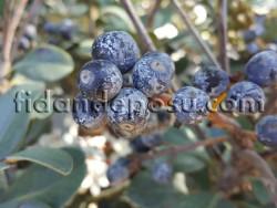 HİNT ALICI (Rhaphiolepis indica) FİDANI - Thumbnail