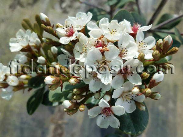 HİNT ALICI (Rhaphiolepis indica) FİDANI