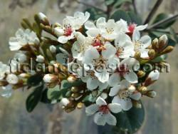 - HİNT ALICI (Rhaphiolepis indica) FİDANI