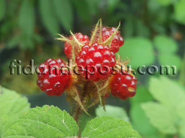 JAPON BÖĞÜRTLENİ (Japanese Wineberry) (Rubus Phoenicolasius) FİDANI