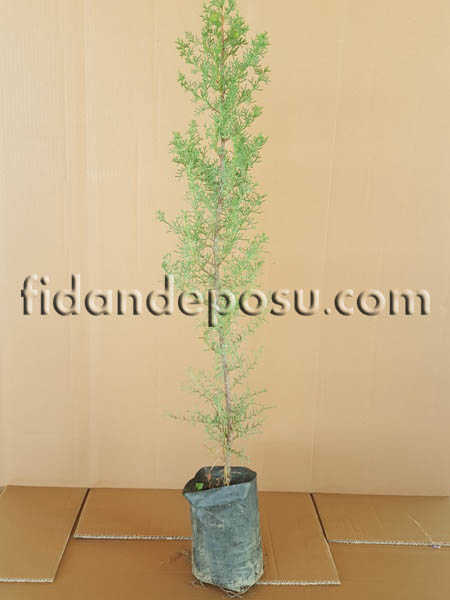 KARA SELVİ (MEZARLIK SELVİSİ) (Cupressus Sempervirens) FİDANI