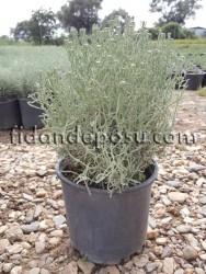 LAVANTİN (Santolina Chamaecyparissus) FİDANI - Thumbnail