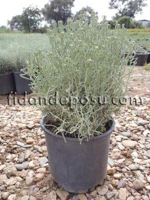 - LAVANTİN (Santolina Chamaecyparissus) FİDANI