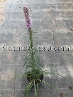 - LİATRİS SPİCATA (Değnek çiçeği,Parlak yıldız çiçeği)BİTKİSİ