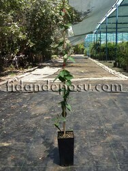 - LONICERA X BROWNII DROPMORE SCARLET (Kırmızı çiçekli hanımeli) BİTKİSİ
