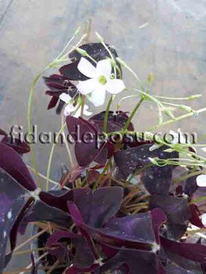 - OXALIS TRIANGULARIS (Uyku çiçeği,Mor süs yoncası)BİTKİSİ