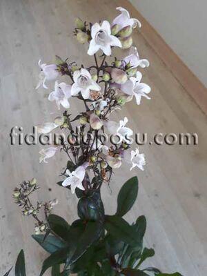 - PENSTEMON DİGİTALİS (Sakallı dil çiçeği) BİTKİSİ