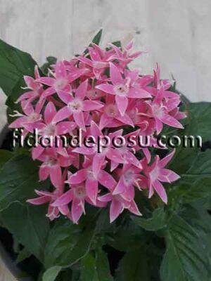 - PENTAS LANCEOLATA (Beşiz çiçeği) BİTKİSi