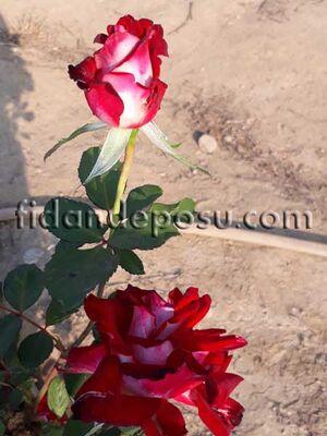 - ROSA SPP. (Kırmızı beyaz renkli TÜRKİYEM gül) FİDANI