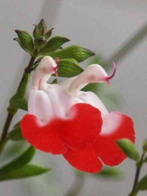 - SALVİA MİCROPHYLLA 'HOT LİPS' (Kırmızı-beyaz çiçekli süs adaçayı) BİTKİSİ