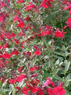 - SALVİA MİCROPHYLLA (Kırmızı çiçekli süs adaçayı) BİTKİSİ