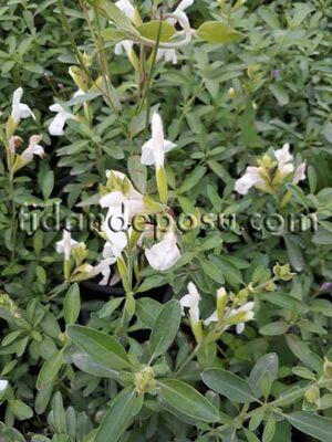 - SALVİA MİCROPHYLLA 'PEG' (Beyaz çiçekli süs adaçayı) BİTKİSİ