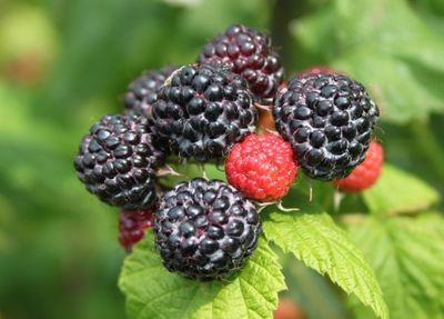 - SİYAH AHUDUDU (Rubus idaeus Black Jewel) FİDANI