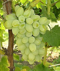 - THOMSON SEEDLESS ASMA FİDANI