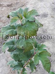 VIBURNUM OPULUS STERILE (Çınar yapraklı kartopu)BİTKİSİ - Thumbnail