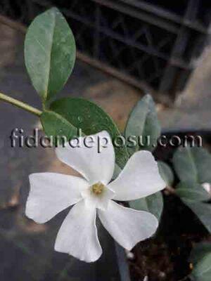 - VINCA MİNÖR'COLADA' (Beyaz çiçekli küçük cezayir menekşesi) BİTKİSİ