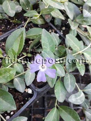 - VINCA MİNÖR'PANTA' (Açık mavi çiçekli küçük cezayir menekşesi) BİTKİSİ