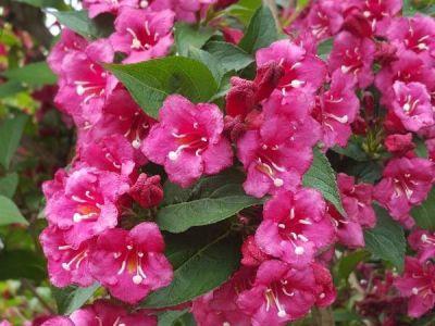 - WEIGELA FLORIDA (Pembe çiçekli Vangelya,Gelintacı) BİTKİSİ