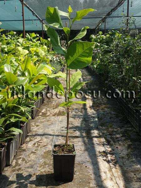 YAPRAK DÖKEN MANOLYA (Magnolia kobus) FİDANI