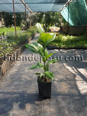 - YAPRAK DÖKMEYEN MANOLYA (Magnolia grandiflora) FİDANI